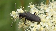 Rare 'Black Longhorn Beetle' spotted on Norfolk Broads