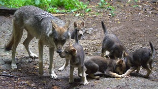 Ember with her cubs