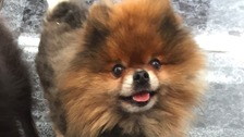 Jenson the Pomeranian was killed during a burglary in Ipswich.