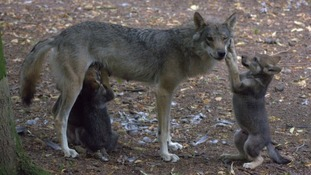 Wolf shot dead after escaping from enclosure just months after becoming new mum