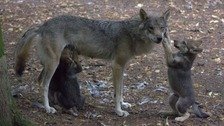 Wolf shot dead after escaping from enclosure