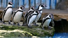 Eight penguins killed by a fox at Chessington