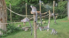 Lemurs at Whipsnade Zoo