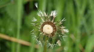 Damp dandelion