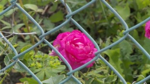 Gardener ordered to tear down his £100 roses planted to decorate ugly fence