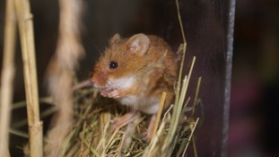 'Big Daddy' harvest mouse fathers 30 offspring