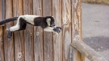 Aramis and Akisa welcome new baby lemur Athos