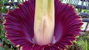 Giant flower which smells like 'rotting meat' blooms at zoo