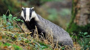 TB discovered in badgers in Cumbria for the first time