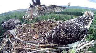 Kielder ospreys fly the nest