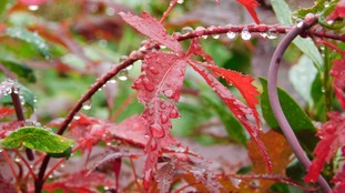 Drops of rain on red leaves