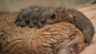 Celebrations at Chester Zoo as tiny rock hyrax triplets are born