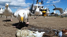 Aggressive seagulls cause a nuisance on the Headland and Seaton Carew.
