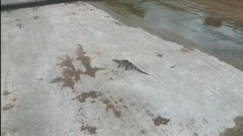 Chew_Alligator