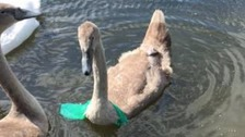 cygnet with plastic bag round neck