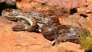 The non-venomous African Rock Python is known to have attacked humans.