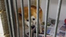 The Japanese Akita found abandoned in Hertfordshire