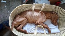 """An RSCA official says Ruby was """"so starved, exhausted and close to death""""."""