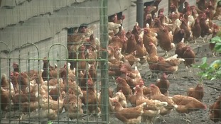 The contaminated eggs are believed to have come from Holland.