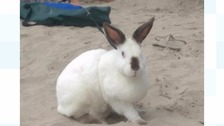 The one-eyed rabbit was seen on a lead at Polzeath beach.