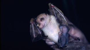 The happy 'Hamamas' tube-nosed fruit bat.