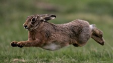Fears of rise in illegal hare coursing in East Anglia