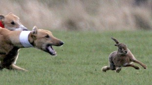 Hare coursing is a rural crime where dogs are used to chase, catch and kills hares.