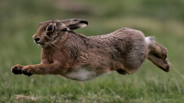 Hare_for_web