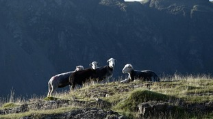 Herdwicks at Wasdale  CHRIS HIMSWORTH
