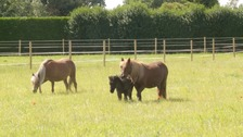 Rare miniature ponies reunited with owner