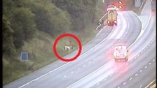 Horse loose on the M25 dies after being hit by lorry