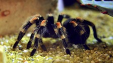 Tarantula seized during police drugs crackdown