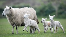 The lambs are Texel Mule cross and have ear tag numbers UK111871