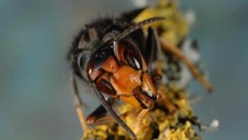 Officials struggle to locate Asian Hornet nest in Jersey