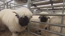 'The cutest sheep in the world' to compete in Borderway Mart show
