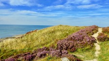 Heather in flower at Ravenscar Cliffs North Yorkshire KEITH BOWN
