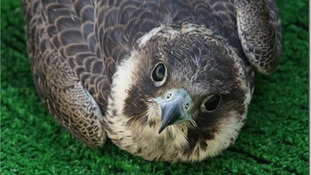 Police investigation begins into poisoning of Peregrine falcons in Devon