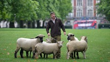 Rare breed sheep to be grazed in London