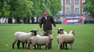 Rare breeds of sheep grazing in the park include Oxford Downs, Whitefaced Woodlands, Southdown's and Manx Loaghtan.