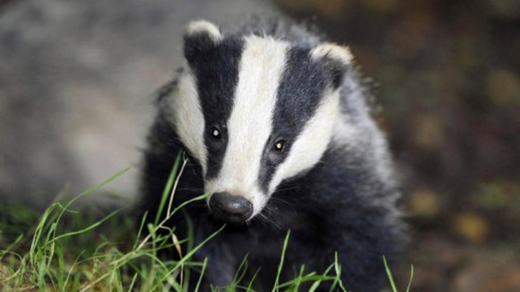 A badger