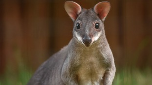 One of the two rare miniature wallabie set to go on show at Chester Zoo.