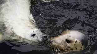 Volunteers needed for seal survey on IoM