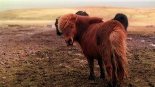 Stock image of a Shetland pony.