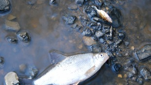 Fish have died after rivers were polluted with waste.