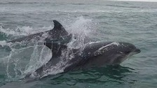 Thirty dolphins spotted near pier at Brighton