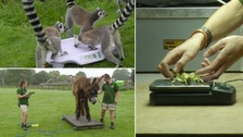 Annual weigh for animals at Whipsnade Zoo