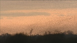 The marshes are famous for the displays by flocks of thousands of starlings in the winter.