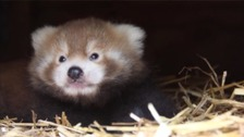 Endangered red panda cub born at Longleat Safari Park