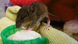 Porridge breakfast for orphaned two-week-old mouse