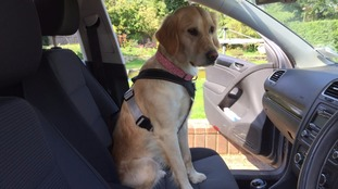 Saffy the dog in a harness